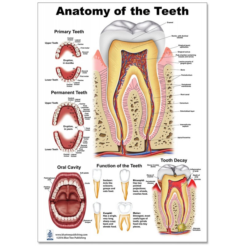 Teeth Anatomy Regular Poster