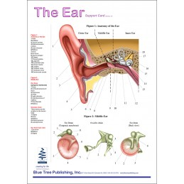 Ear Anatomical Chart - front