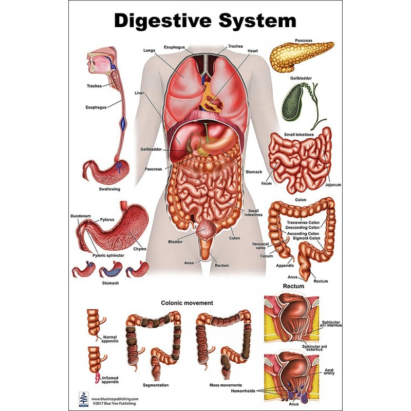 Digestive System Large Poster