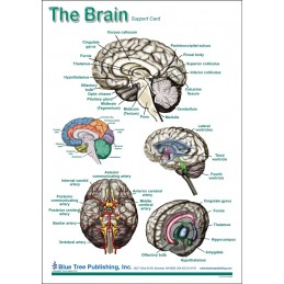 SLP Computer Software and Chart Set - Brain Anatomical Chart card one back