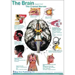 SLP Computer Software and Chart Set - Brain Anatomical Chart card two back