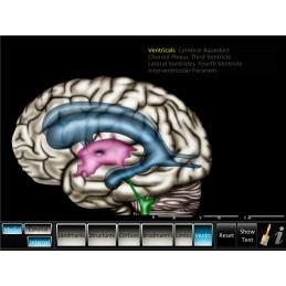 Brain Computer App Head Model Pocket Chart Tablet Set - Cerebrum ID