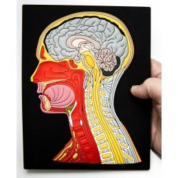 Brain Computer App Head Model Pocket Chart Tablet Set - Head Mat Model