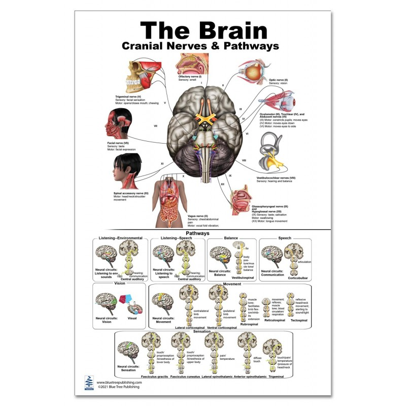 Brain Cranial Nerves and Pathways Large Poster