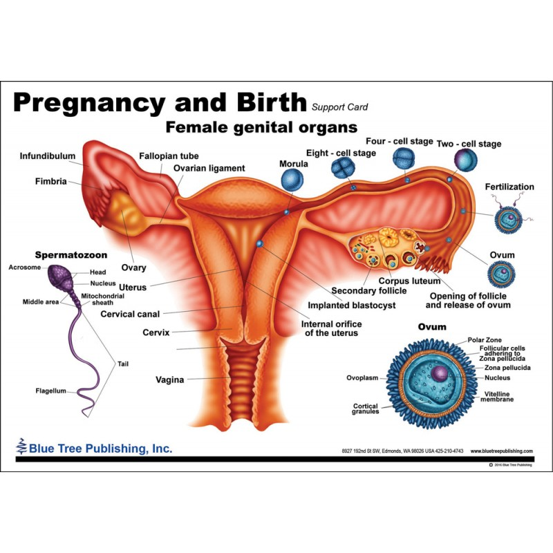 Pregnancy and Birth Anatomical Chart side one