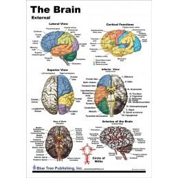Brain Anatomical Chart card 1, side 1