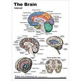 Brain Anatomical Chart card 1, side 2