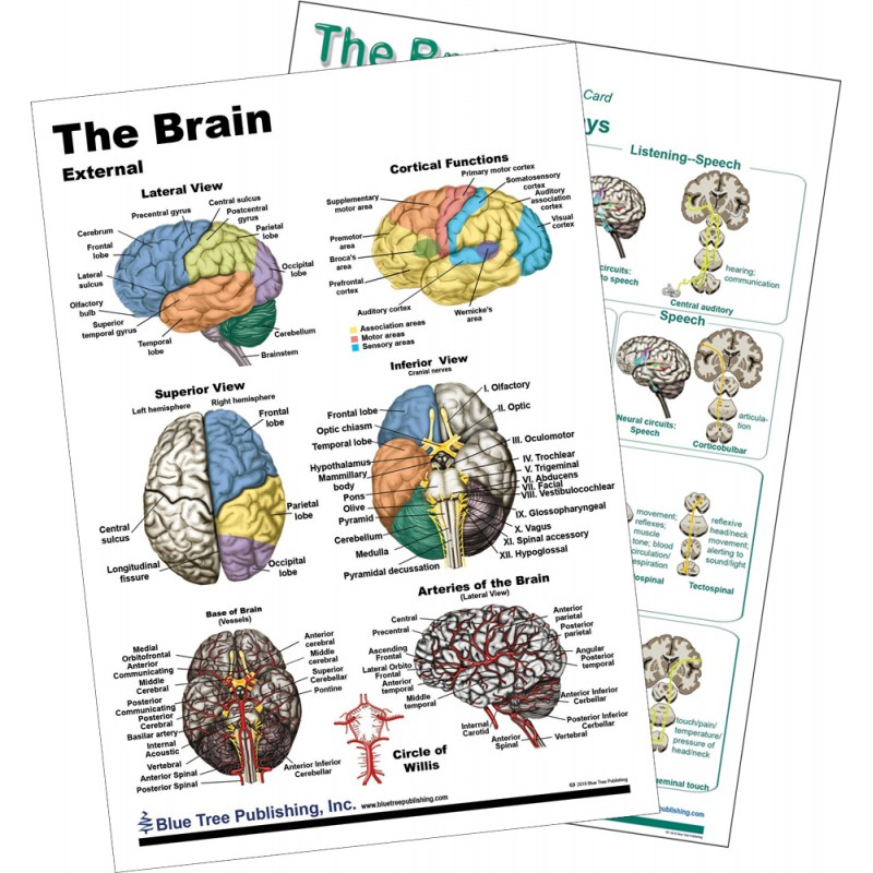 Brain Anatomical Chart 2 card view