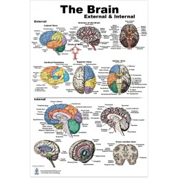 Brain External and Interior Large Poster
