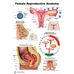 Female Reproductive Large Poster