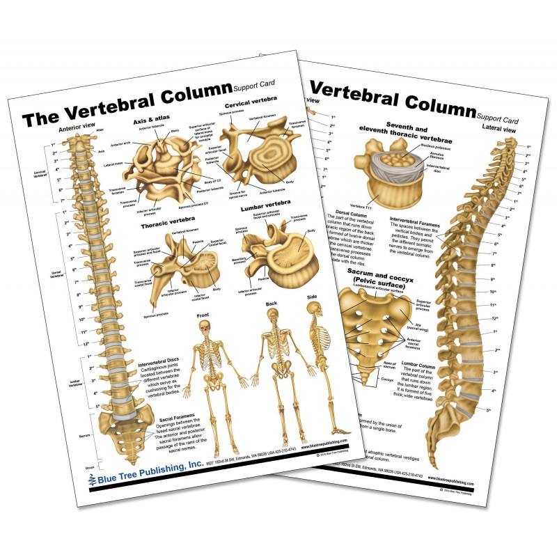 Vertebral Column Anatomical Chart front and back view