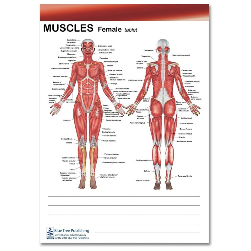 Muscle Female and Male Tablet female view 1 pack