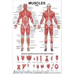 Muscles Male Medium Poster