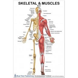 Skeletal and Muscles Back Regular Poster