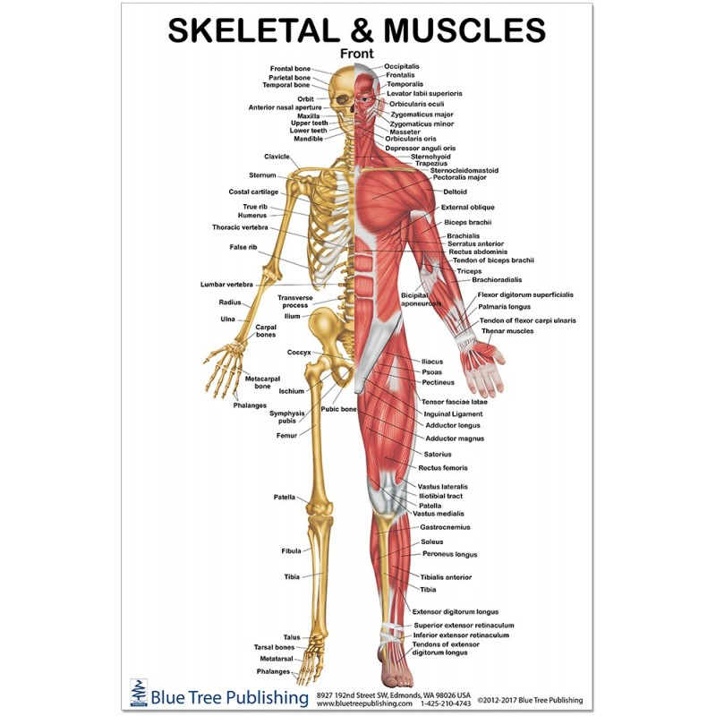 Skeletal and Muscles Front Regular Poster