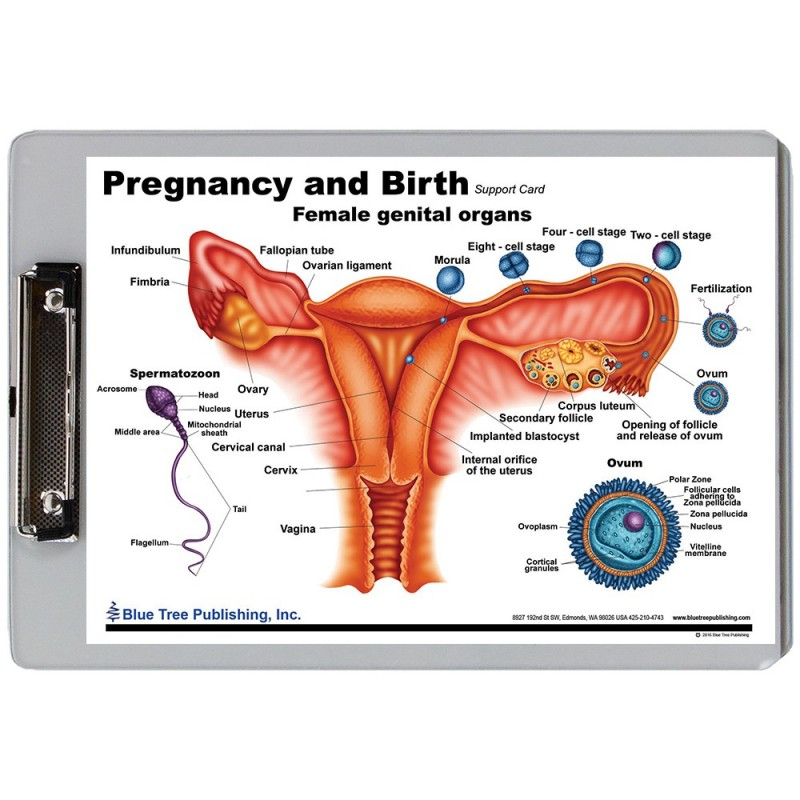 Pregnancy and Birth Dry Erase Clipboard front view