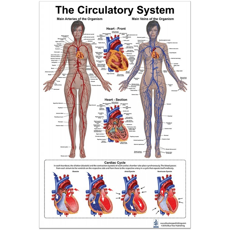 Circulatory System Large Poster