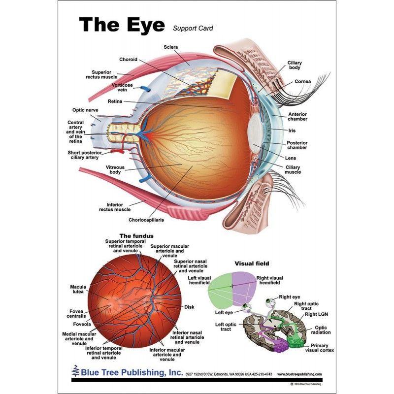 Eye Anatomical Chart font view