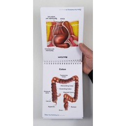 Male Anatomy Flip Chart colon and rectum view