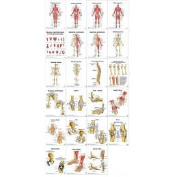 Muscles and Bones Anatomy Flip Chart all cards view