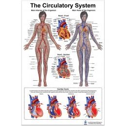 Circulatory System Medium Poster