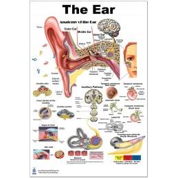 Ear Medium Poster