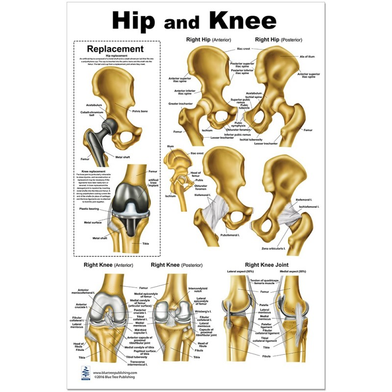 Hip and Knee Large Poster